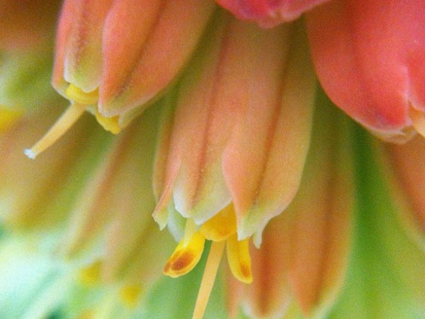 Red Hot Poker Macro